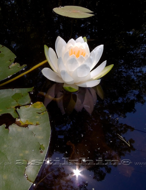 Water Lily and sun reflection.