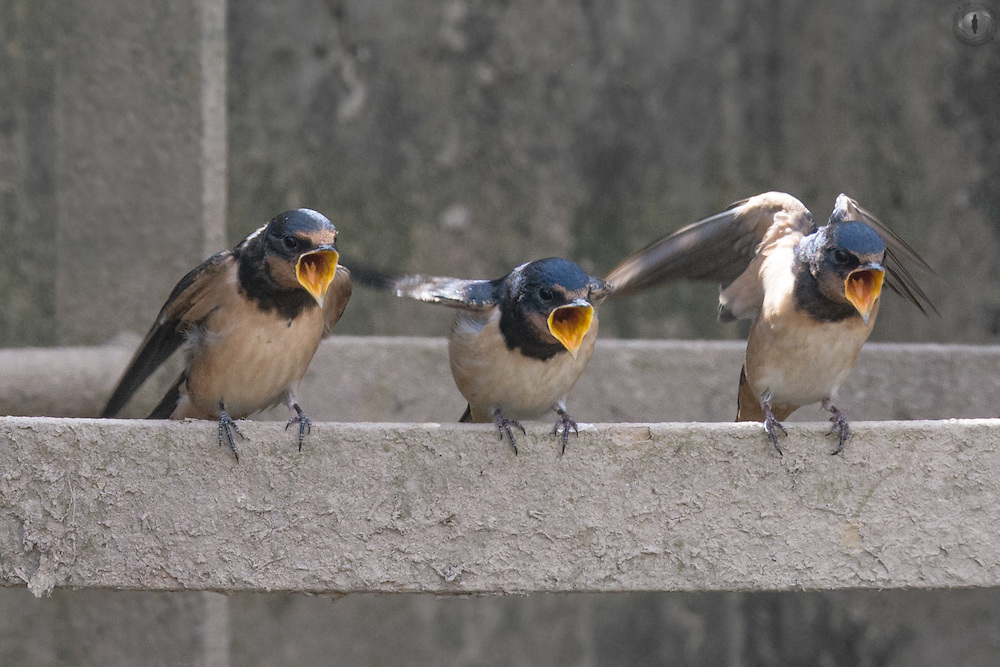 Barn swallow chicks (Hirundo rustica) calling out for food, waiting for their mother to return, perched on a disused sewer drain.