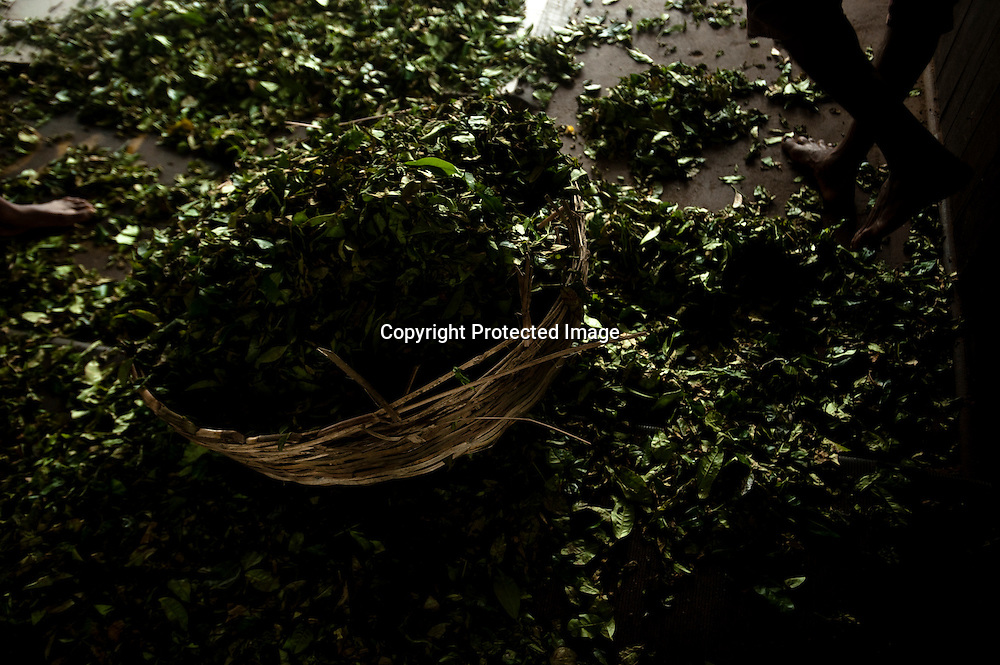 A factory worker collects wilted tea leaves that will be processed into tea at the plant of the Bogawantalawa Tea Estates near the town of Hatton in central Sri LankaDecember 13, 2009. Tea is sampled similar to wine in that it is swished around in the mouth to get the full taste and then spit out. After being picked leaves are wilted overnight then dried and ground with in 24 hours to produce tea for auction.