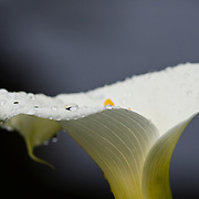 Detail of a calla lily bloom, Arum Lily, cala lily, Zantedeschia aethiopica, native of South Africa, water drops, dew drops,  Trogon Lodge, Talamanca Mountains, south of San Jose, Costa Rica.