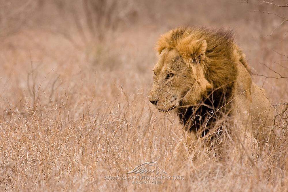 Lion, safari, South Africa