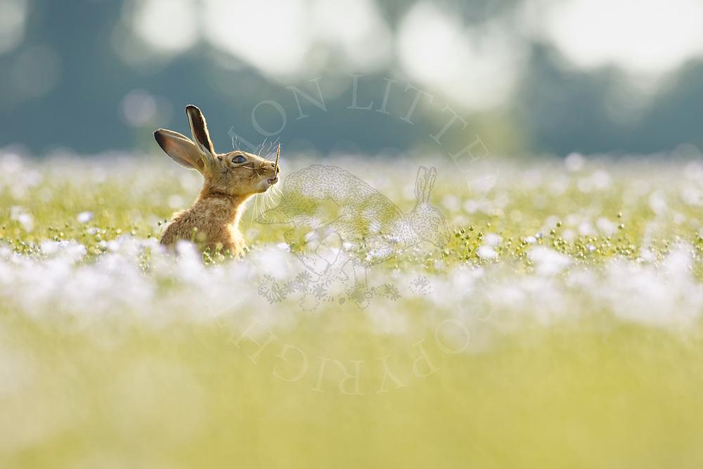 European Hare (Lepus europaeus) adult feeding in flowering linseed crop, South Norfolk, UK. July.