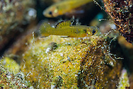Largespring Gambusia<br />