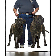 "SHOT 2/18/08 12:51:24 PM - Portraits of various dogs at the 13th Annual Rocky Mountain Cluster dog show at the National Western Complex in Denver, Co. Mike Sager of Commerce City, Co. holds his English Mastiffs ""Xena"" (left), a two year-old female (150 lbs.) and ""Hades"", a three year-old male (185 lbs.) in place for a portrait. Both dogs took first place in their respective classes and Sager said that even though they may appear vicious they are just huge couch potatoes. The English Mastiff, often called simply Mastiff, is a large breed of dog of the general mastiff or Molosser type. This breed is powerfully built, with a massive body, broad skull and head of generally square appearance. It is also the biggest dog breed. Mastiffs have a tendency to over-salivate and ""drool"" frequently. The Mastiff breed is a combination of grandeur, dignity, and courage; calm and affectionate to its master, but capable of protection. This particular mastiff-type breed is an extremely capable guard. The Mastiff might have been brought to Britain in the 6th century BC. It was used in the blood sports of bear-baiting, bull-baiting, dog fighting, and lion-baiting. Throughout its long history, the Mastiff has contributed to the development of a number of dog breeds. The dog show features some of the top show dogs in the country and showcases close to 200 different breeds. Some 3,500 dogs and some of the top handlers in the country compete at the event which follows on the heels of Westminster. In a conformation show, judges familiar with specific dog breeds evaluate individual dogs for how well they conform to published breed standards. Conformation shows are also referred to as dog shows or breed shows. Conformation shows are typically held under the auspices of a national kennel club. At the highest levels are Championship or all-breed shows, which have separate classes for the majority of breeds.(Photo by Marc Piscotty / © 2008)"