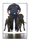 """SHOT 2/18/08 12:51:24 PM - Portraits of various dogs at the 13th Annual Rocky Mountain Cluster dog show at the National Western Complex in Denver, Co. Mike Sager of Commerce City, Co. holds his English Mastiffs """"Xena"""" (left), a two year-old female (150 lbs.) and """"Hades"""", a three year-old male (185 lbs.) in place for a portrait. Both dogs took first place in their respective classes and Sager said that even though they may appear vicious they are just huge couch potatoes. The English Mastiff, often called simply Mastiff, is a large breed of dog of the general mastiff or Molosser type. This breed is powerfully built, with a massive body, broad skull and head of generally square appearance. It is also the biggest dog breed. Mastiffs have a tendency to over-salivate and """"drool"""" frequently. The Mastiff breed is a combination of grandeur, dignity, and courage; calm and affectionate to its master, but capable of protection. This particular mastiff-type breed is an extremely capable guard. The Mastiff might have been brought to Britain in the 6th century BC. It was used in the blood sports of bear-baiting, bull-baiting, dog fighting, and lion-baiting. Throughout its long history, the Mastiff has contributed to the development of a number of dog breeds. The dog show features some of the top show dogs in the country and showcases close to 200 different breeds. Some 3,500 dogs and some of the top handlers in the country compete at the event which follows on the heels of Westminster. In a conformation show, judges familiar with specific dog breeds evaluate individual dogs for how well they conform to published breed standards. Conformation shows are also referred to as dog shows or breed shows. Conformation shows are typically held under the auspices of a national kennel club. At the highest levels are Championship or all-breed shows, which have separate classes for the majority of breeds.(Photo by Marc Piscotty / © 2008)"""