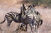 Burchell's or common zebra.