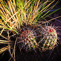 Closeup view of two, small barrel cacti in Hayden Green Mountain Park in Lakewood, Colorado.