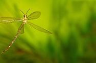 Ant Lion (Brachynemurus abdominalis) flying<br /> United States: Alabama: Tuscaloosa Co.<br /> Tulip Tree Springs off Echola Rd.; Elrod<br /> 24-Jul-2016<br /> J.C. Abbott #2853