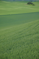 Rows of wheat grass grows in the Palouse area, Washington.