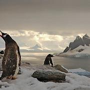 Penguins call in Paradise Bay, Antarctica