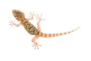 Moorish gecko, Spain