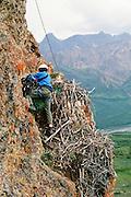 Alaska. Denali National park, Biologist, bird. researcher rock climber returns a Golden Eagle  (Aquila chrysaetos) to its nest.