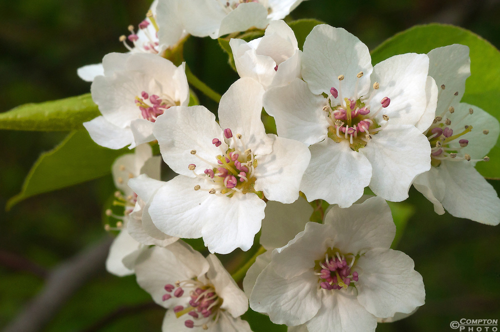 Apple Cherry Blossom White White Apple Blossom
