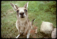 Smallest and furriest of the kangaroos, this wallaroo, or euro, sniffs up at lens; Wagga, NSW. Australia