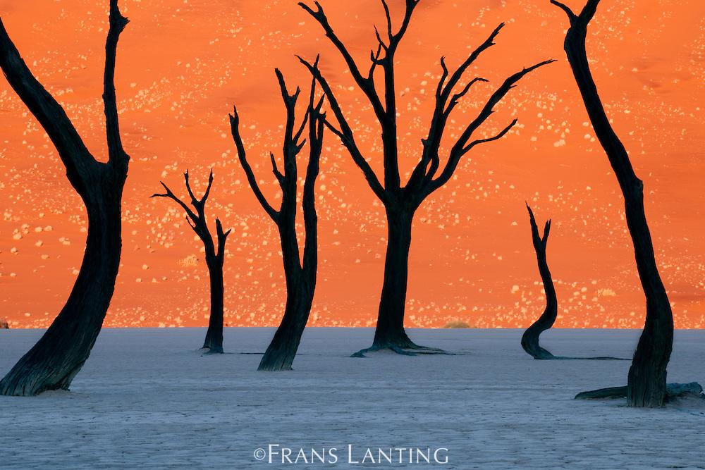 Dead camelthorn trees, Acacia erioloba, Dead Vlei, Namib-Naukluft National Park, Namibia