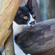 Domestic cat, Chiang Mai, Thailand