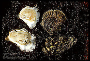 07: OYSTERS JAPANESE & NATIVE FLATS