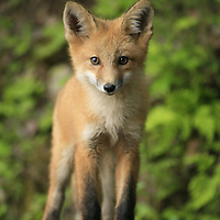 Red fox pups playing around in Smithers, BC