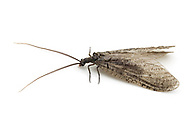 Gray Fishfly or California Fishfly (Neohermes californicus)<br /> CALIFORNIA: Kern Co.<br /> Rivernook Campground; Kernville<br /> 8-13.June.2012 <br /> J.C. Abbott #2599 &amp; K.K. Abbott