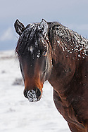 A curious wild stallion, with whiskers and mane frosted, closely approaches this photographer on a frigid morning at McCullough Peaks Herd Management Area.