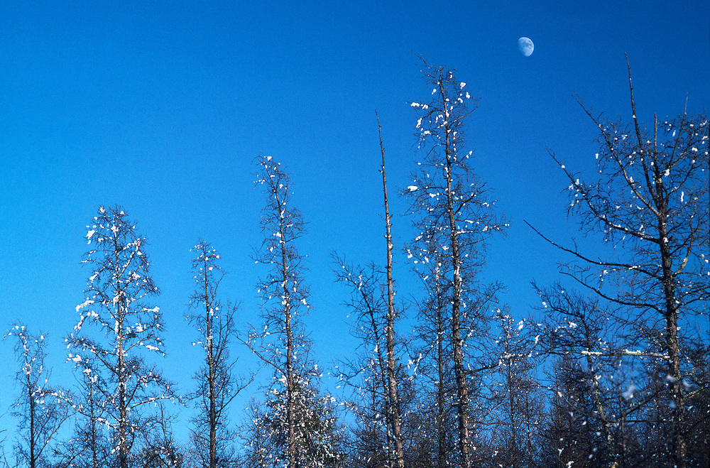 Winter Moon over snow covered Tamarack