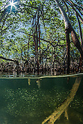 Mangroves<br /> Caye Caulker<br /> Ambergris Caye<br /> Belize<br /> Central America<br /> Mangrove stand showing importance of mangroves as a nursery area for commercial and bait fish species