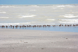 Small migratory shore birds gather at the water's edge at Eighty Mile Beach in the Wet Season.  Eighty Mile Beach is one of the Kimberley's four new marine parks.