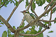 Dideric Cuckoo.Chrysococcyx caprius.AKA Diderick Cuckoo.AKA Diederick Cuckoo.male.Satara camp,.Kruger National Park,.Mpumalanga Province,.South Africa.14 January 2006