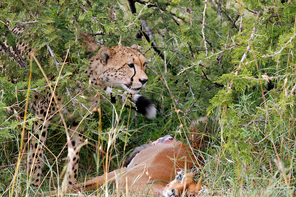 Africa, Kenya, Masai Mara. A mother cheetah and her cubs feed on an impala kill.