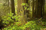 Del Norte Coast Redwood State Park, rhododendron, California