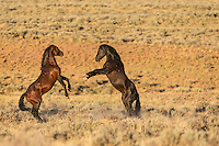 Wild mustang in Wyoming stallions fighting