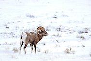 A wild bighorn sheep stands in the snow near Jackson Hole, Wyoming.