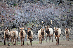 A bull elk watches his harem at Oak Creek, Cascade Range, Washington, USA