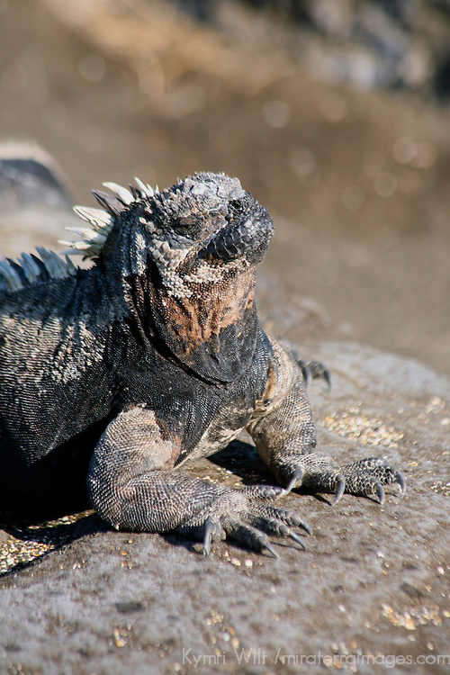 South America, Ecuador, Galapagos Islands, Santiago Island, James Island, Port Egas. Marine Iguana.