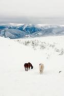 Horses, winter, Absaroka Mountains, Montana, Property Released