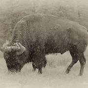Grazing Bison Snow Storm - Lamar Valley - Yellowstone National Park - Sepia Black & White