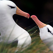 A pair of black-browed albatross (Diomedea melanophris) courting on West Point Island, Falkland Islands.