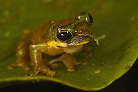 Long-nosed frog (Litoria sp nov) on the edge of a leaf.<br />
