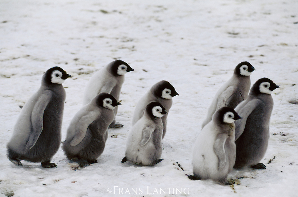 Emperor penguin chicks roaming, Aptenodytes forsteri, Weddell Sea, Antarctica