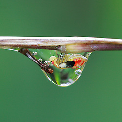 Eine Art Schaumzikade (Cercopoidea) die in einem ostandinen Nebelwald in Ecuador vom Saft einer Bambuspflanze und geschützt in einem selbsterzeugten Tropfen aus einer klaren Flüssigkeit lebt. - Kind of a spittlebug that lives in a cloudforest of the eastern Andes of Ecuador. Sucking the sap of a bamboo it lives protected in a self created transparent drop.