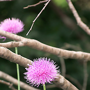 Thistles in Texas Woods
