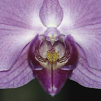 Purple orchid&amp;#xA;Doritaenopsis&amp;#xA;&copy; KIKE CALVO - V&amp;W&amp;#xA;( flower colorful plant garden spring tropical plant ornamental orchidaceae bloom blossom bouquet petal floral beautiful inspiring nature botanical VIOLET<br />