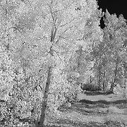 North Lake Road Aspen Grove - Infrared Black & White