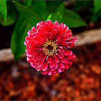 A red Zinnia flower viewed from above in a garden.