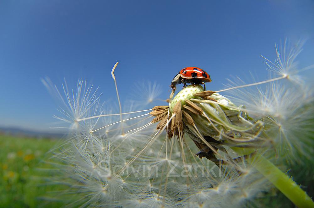 The harlequin ladybird (Harmonia axyridis) is an invasive species throughout North America, northwestern Europe and lately (since 2004) also in the UK.   Asiatischer Marienkäfer (Harmonia axyridis) auf Löwenzahn (Taraxacum officinale) Der Asiatische Marienkäfer (Harmonia axyridis) ist ein Käfer (Coleoptera) aus der Familie der Marienkäfer (Coccinellidae). Er wird auch als Vielfarbiger Marienkäfer oder Harlekin-Marienkäfer bezeichnet. Ursprünglich kommt der Asiatische Marienkäfer aus Japan und China. Er wurde Ende des 20. Jahrhunderts zunächst in die USA und dann auch nach Europa eingeführt, wo man ihn auch heute noch zur biologischen Schädlingsbekämpfung erwerben kann. Inzwischen tritt er an vielen Stellen massenhaft wild auf und man befürchtet, dass er einheimische Marienkäfer-Arten verdrängt.