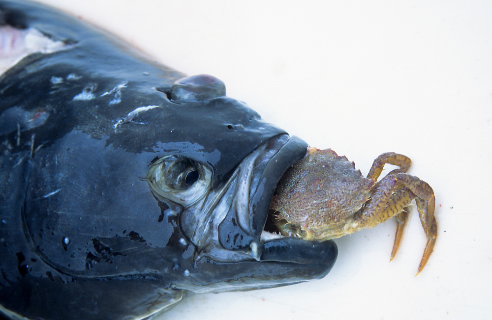 Alaska. Glacier Bay NP. Bartlett Cove. A halibut (Hippoglossus stenolpis) is shown with its prey of crab.