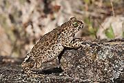 Natterjack Toad (Bufo calamita)<br /> Sierra de And&uacute;jar Natural Park, Mediterranean woodland of Sierra Morena, north east Ja&eacute;n Province, Andalusia. SPAIN<br /> RANGE: w &amp; central Europe e to Russia &amp; UK &amp; Ireland.<br /> <br /> Mission: Iberian Lynx, May 2009<br /> &copy; Pete Oxford / Wild Wonders of Europe<br /> Zaldumbide #506 y Toledo<br /> La Floresta, Quito. ECUADOR<br /> South America<br /> Tel: 593-2-2226958<br /> e-mail: pete@peteoxford.com<br /> www.peteoxford.com