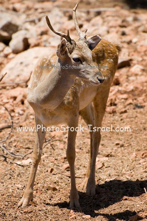 Israel, Carmel Mountains, Young Persian Fallow Deer (Dama dama Mesopotamica)