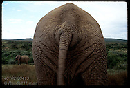 Elephant's rear end fills frame w/ leathery skin as kin walks in back; Addo Elephant NP, E. Cape South Africa