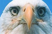 Alaska. Bald Eagle head (Haliaeetus leucocephalus), Close up of beak and eyes. Raptor searching for food.